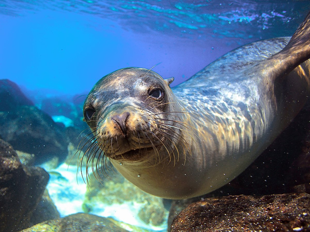 Seal in the Pacific Ocean on guided Galapagos Adventure Tour in Galapagos Islands