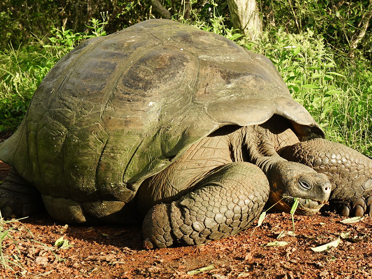 Galapagos Tortoise on guided Galapagos Adventure Tour in Galapagos Islands