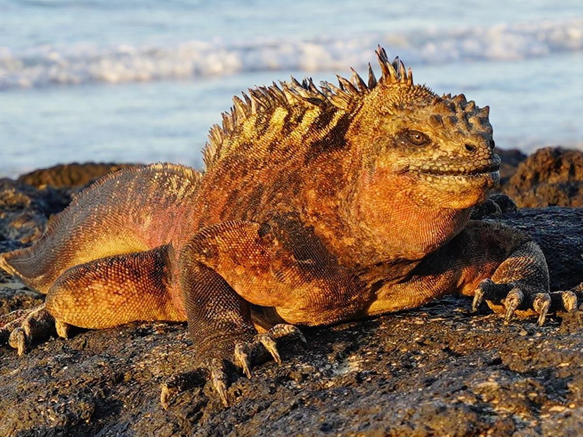 Huge iguana on Isabela Island on guided Galapagos Adventure Tour