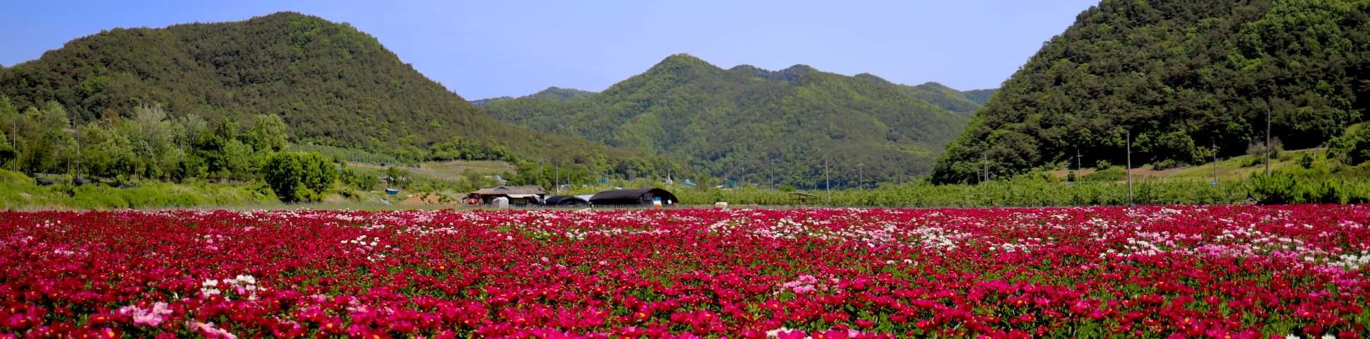 Flowers in Gyeongsangbuk-do (South Korea)