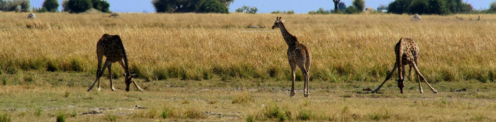 Three funny giraffes in Okavango-Chobe (Botswana)