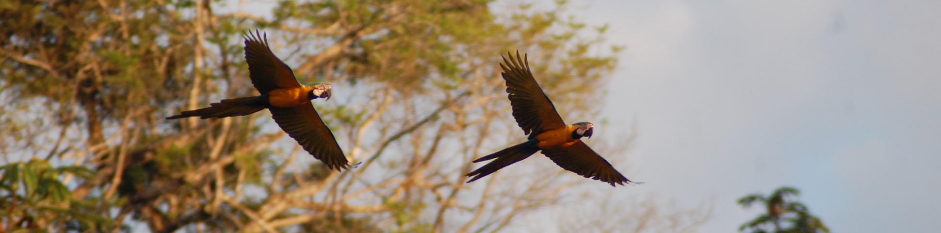 Pascua Tambopata 2011 macaws