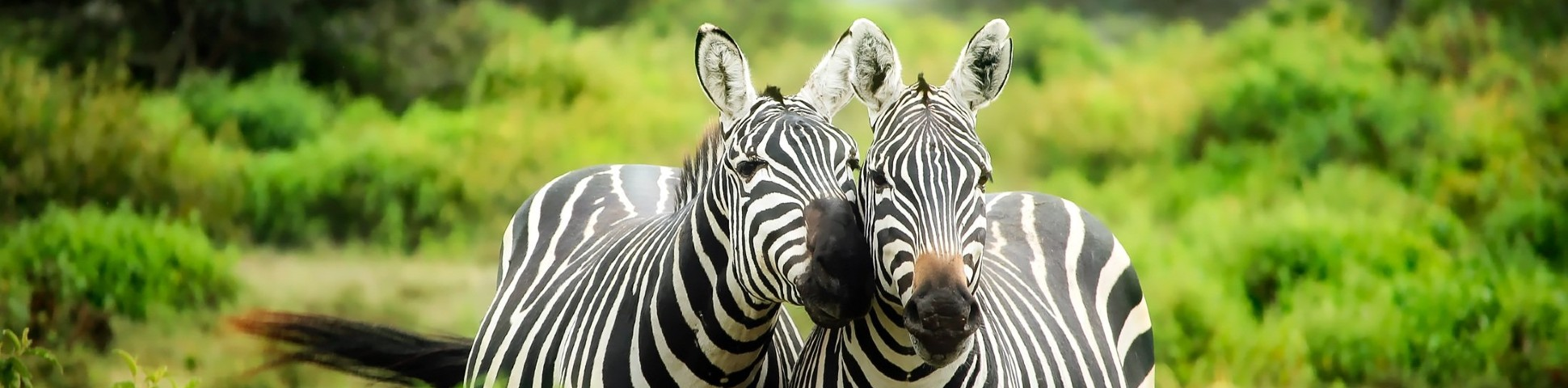 Two zebras spotted on Wildlife Watching Tour