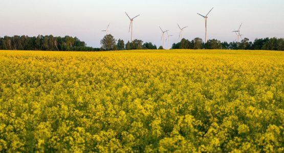 Beautiful flower fields in Brandenburg, Germany