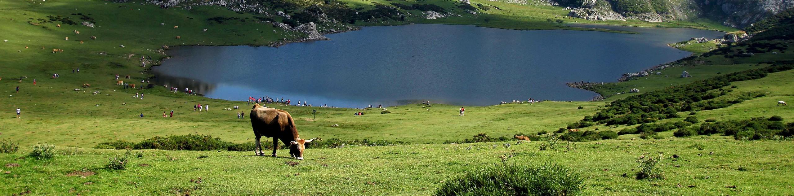 Cow near the lake in Asturias