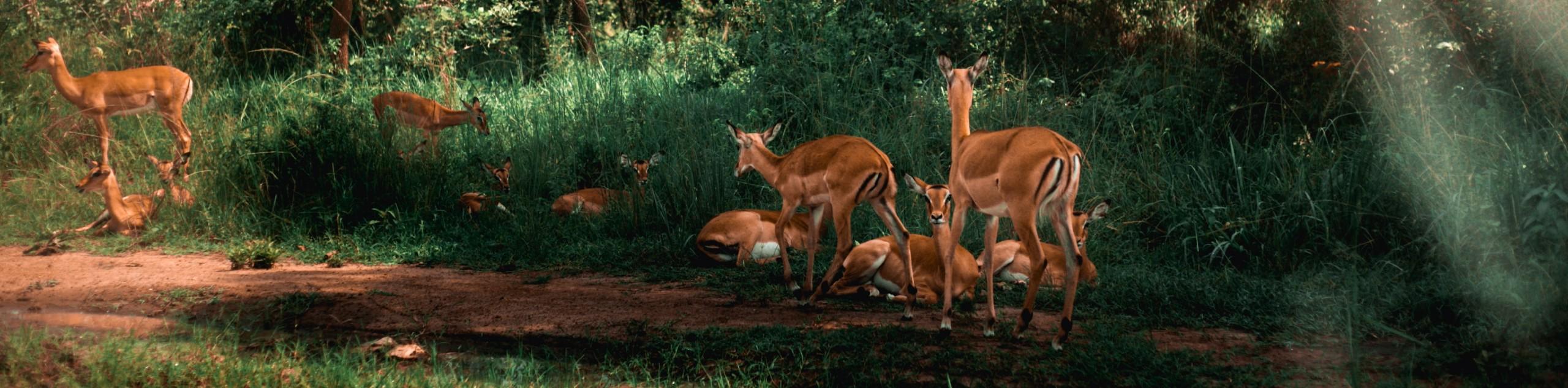 Herd of antelopes in Rwanda