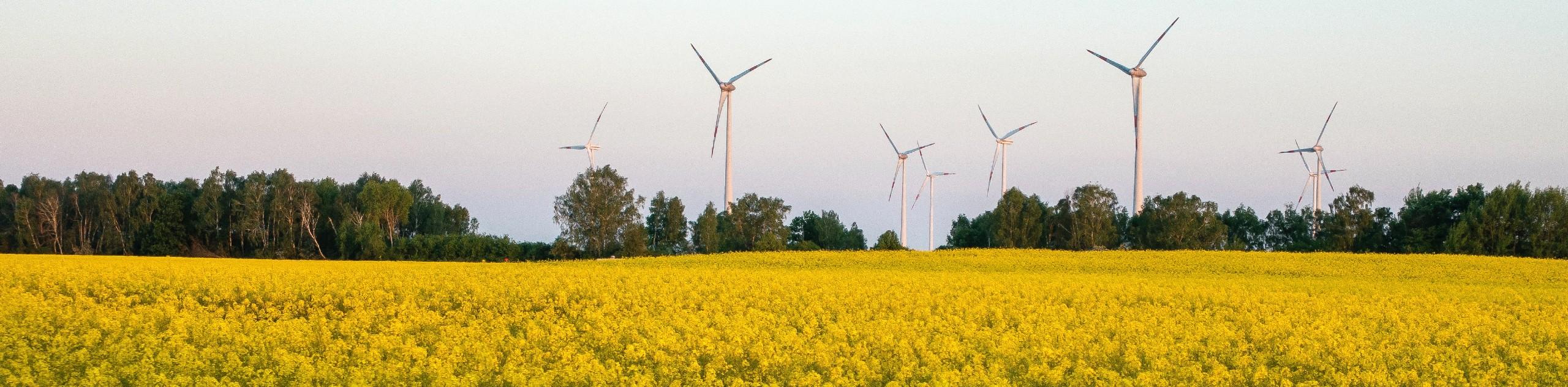 Yellow fields in Brandenburg