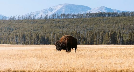Bison in Yellowstone (Wyoming)