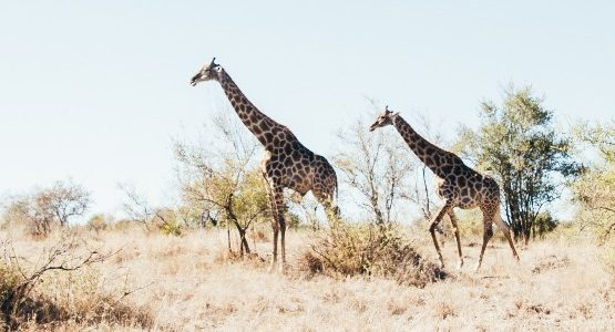 Two giraffes in Kruger National Park