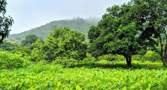 Green fields of Maharashtra in India