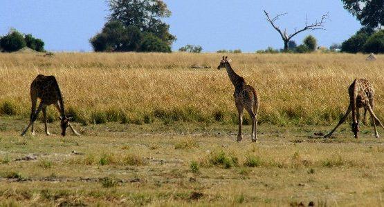 Three funny giraffes eating grass in Okavango-Chobe region in Botswana