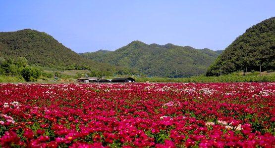 Red flower field in Gyeongsangbuk-do (South Korea)