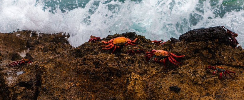 Two crabbies on the coast of Galapagos