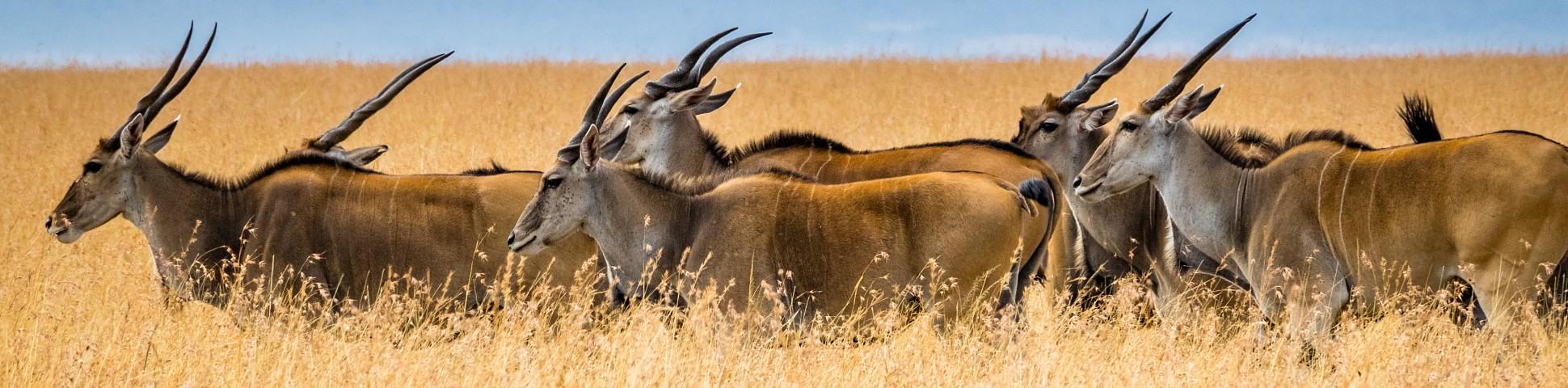 Group of antelopes in Masai Mara