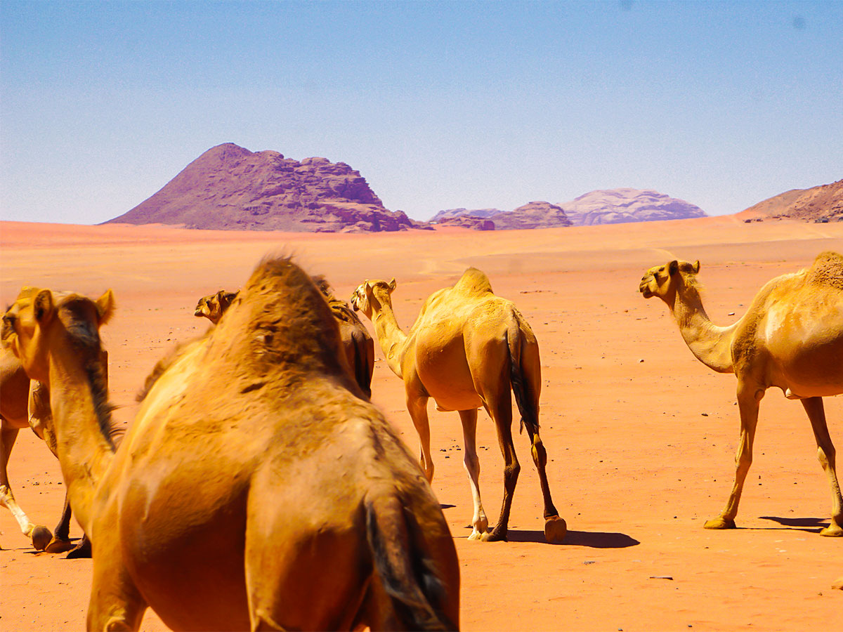 Herd of camels on Jordan Adventure Holiday tour