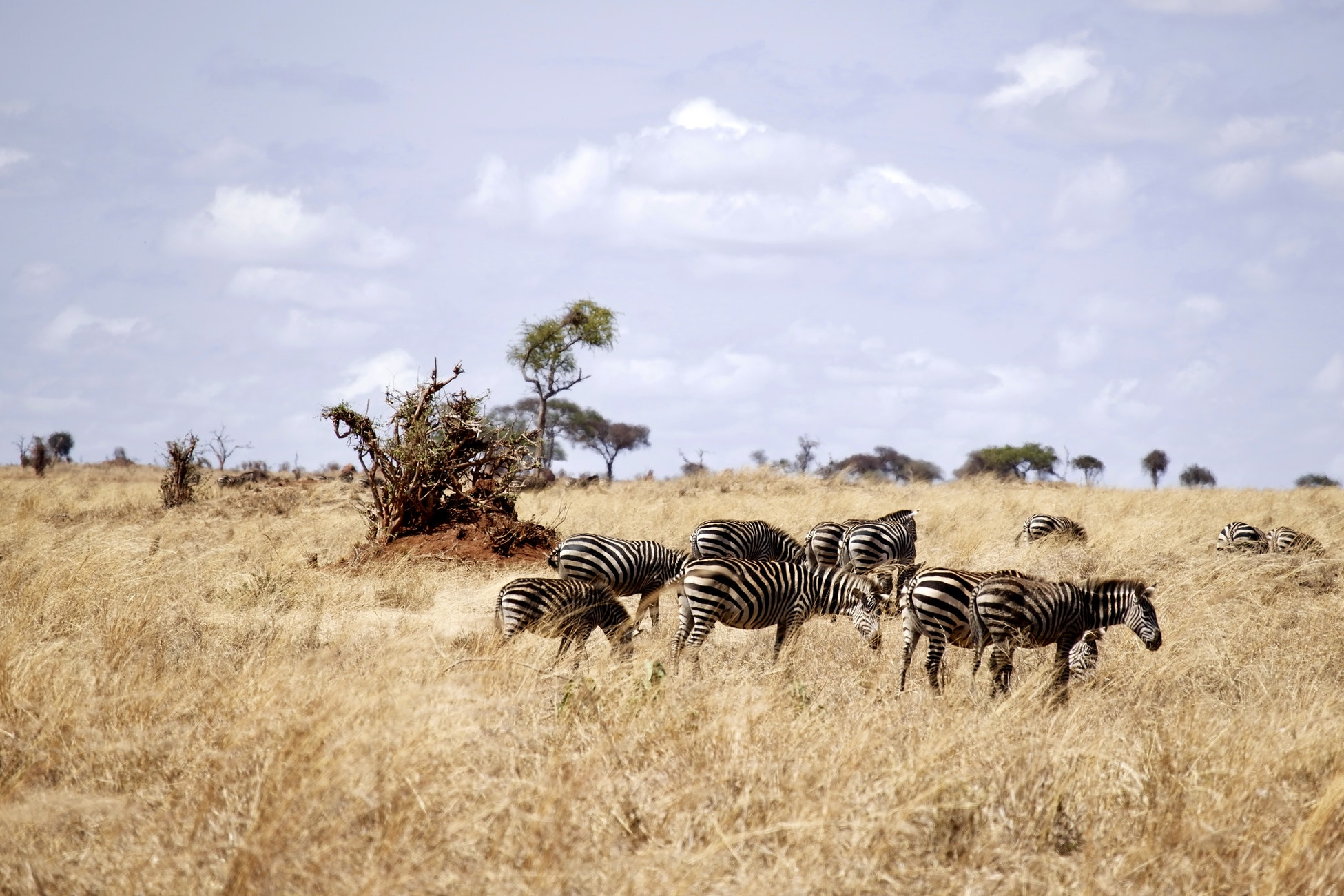 Zebras in Savannah on guided Kilimanjaro to Ngorongoro Cycling Tour