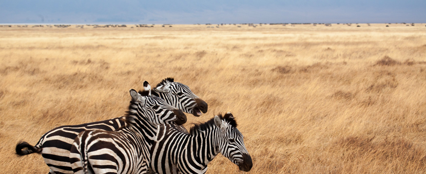 Zebras on guided cycling tour around Mount Kilimanjaro in Tanzania