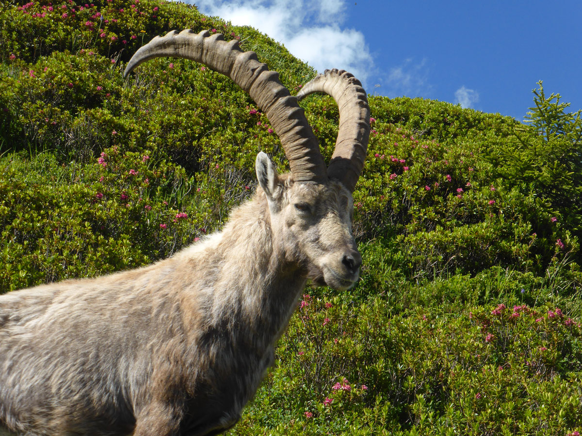 Alpine ibex on Tour de Mont Blanc in French Alps