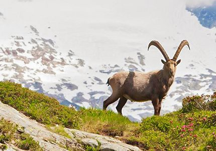 Alpine ibex on self-guided Tour du Mont Blanc trek