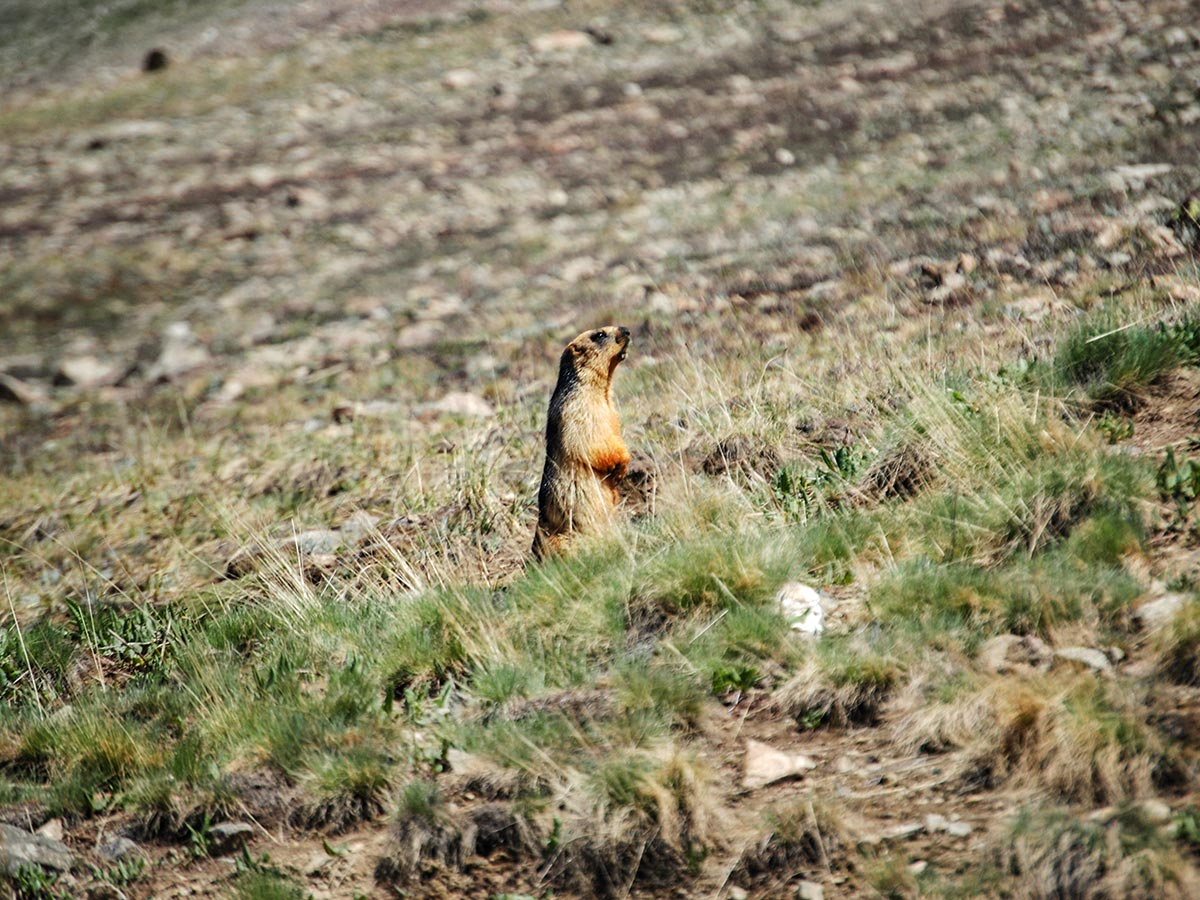 Curious golden marmoth in Deosai Valley guided Overland Tour in Skardu Valley Pakistan