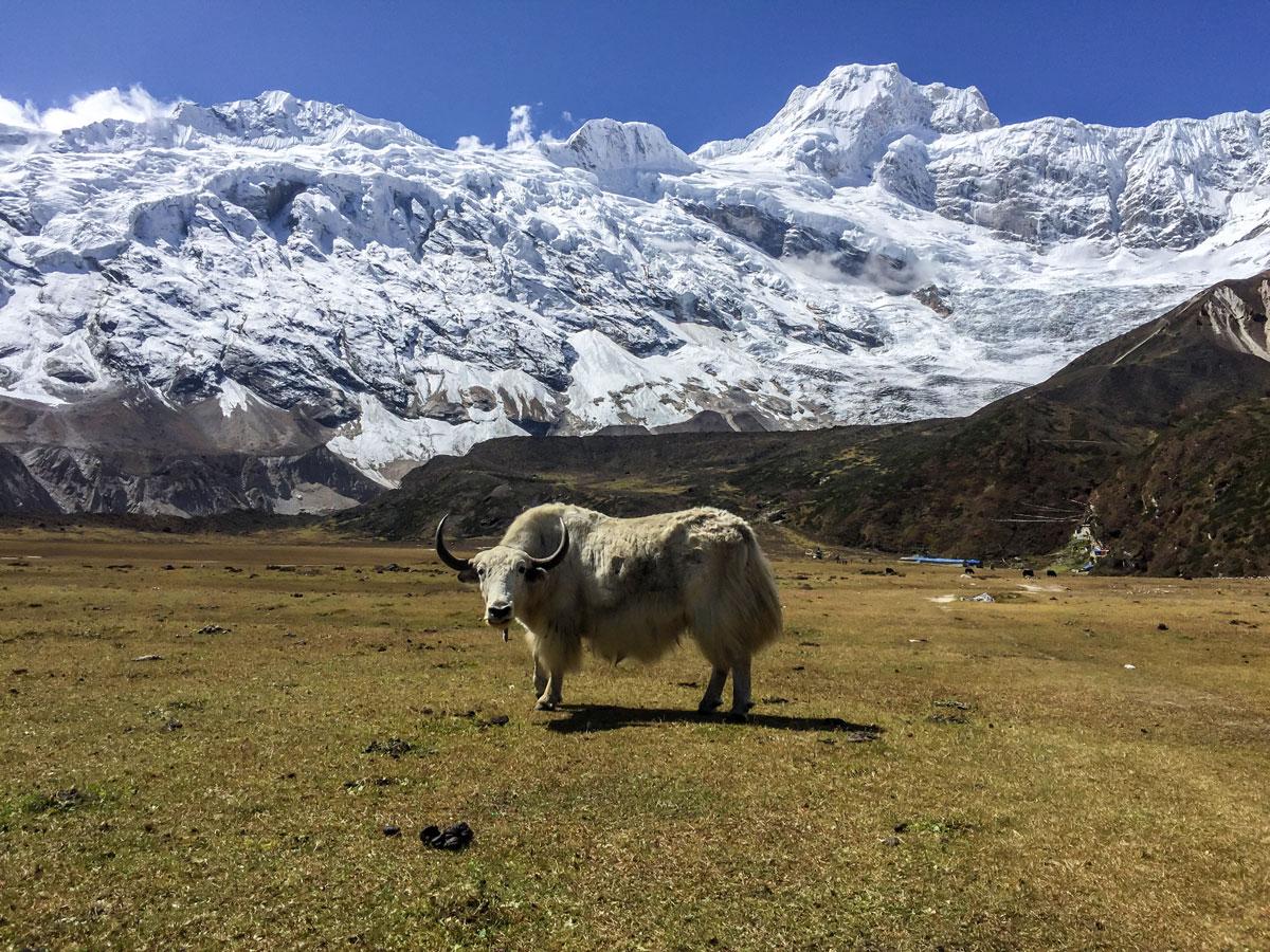 Yak on Manaslu Circuit trek in Nepal