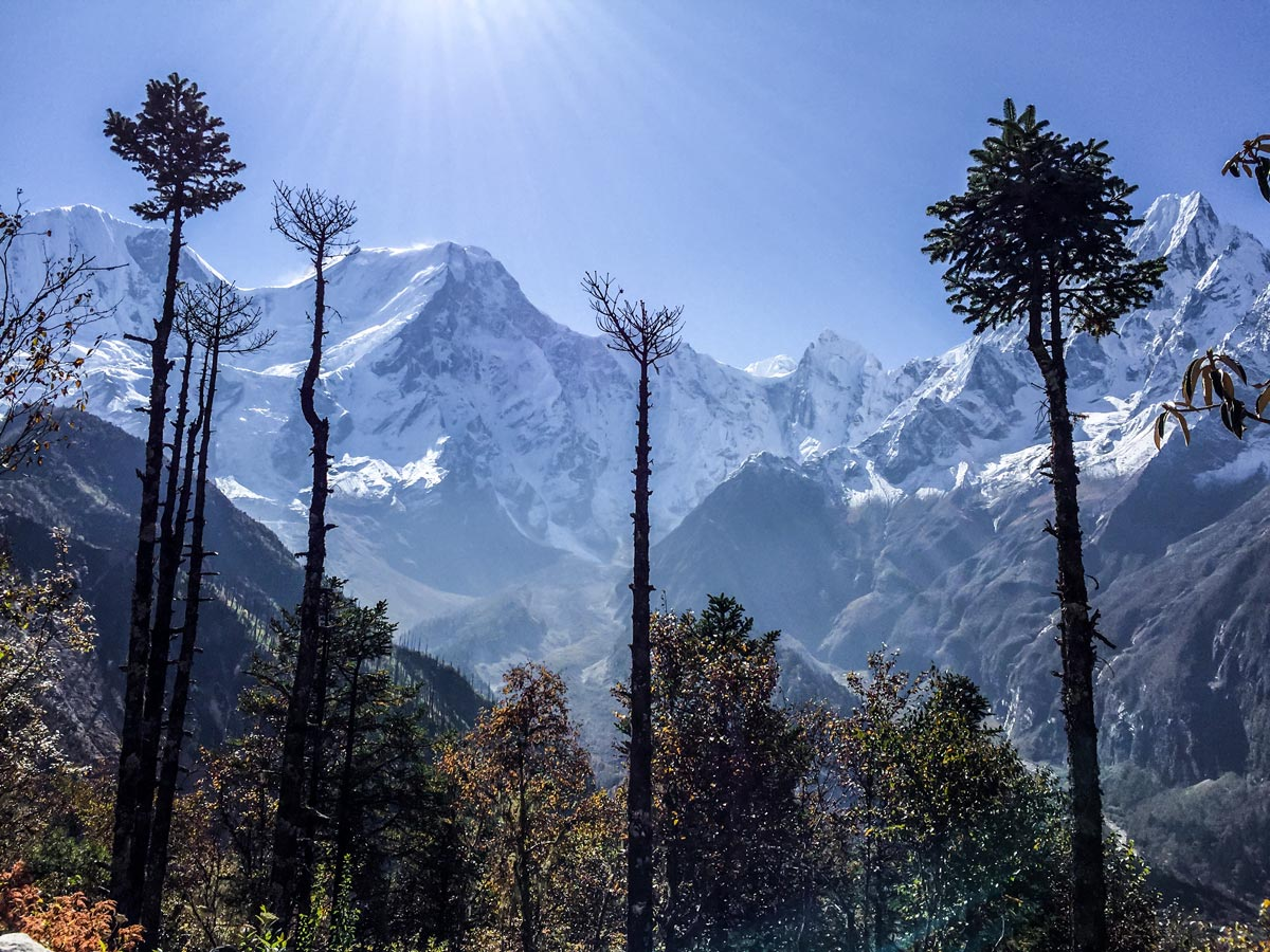 Big pines in front of Himalayan mountains on Manaslu Circuit trek in Nepal
