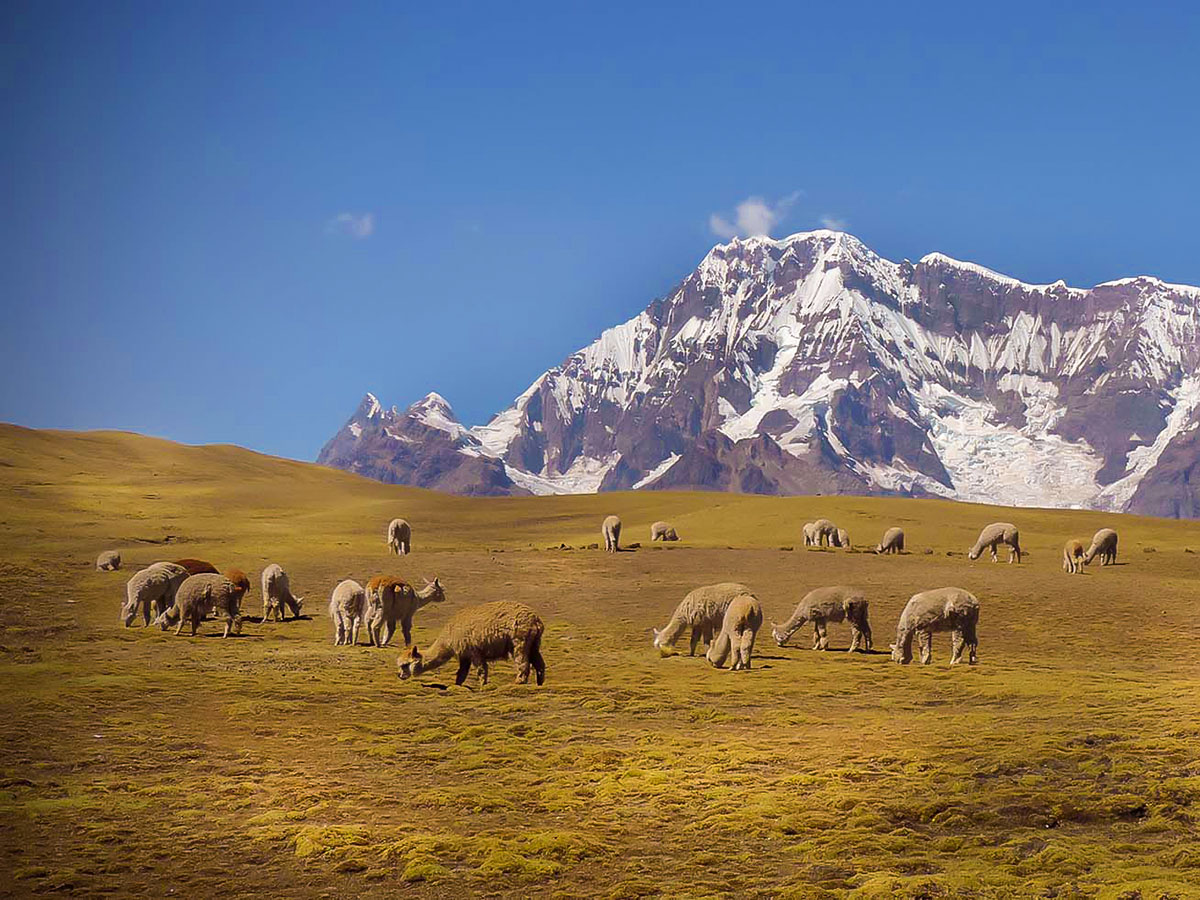 A field with llamas grazing and mountains in the distance