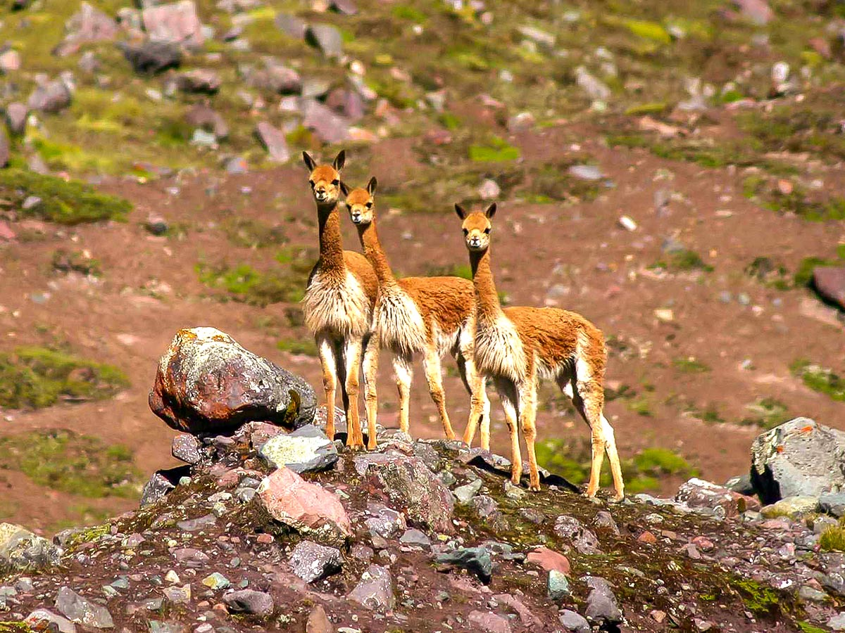 Llamas on Ausangate Rainbow Mountain and Machu Picchu trek in Peru