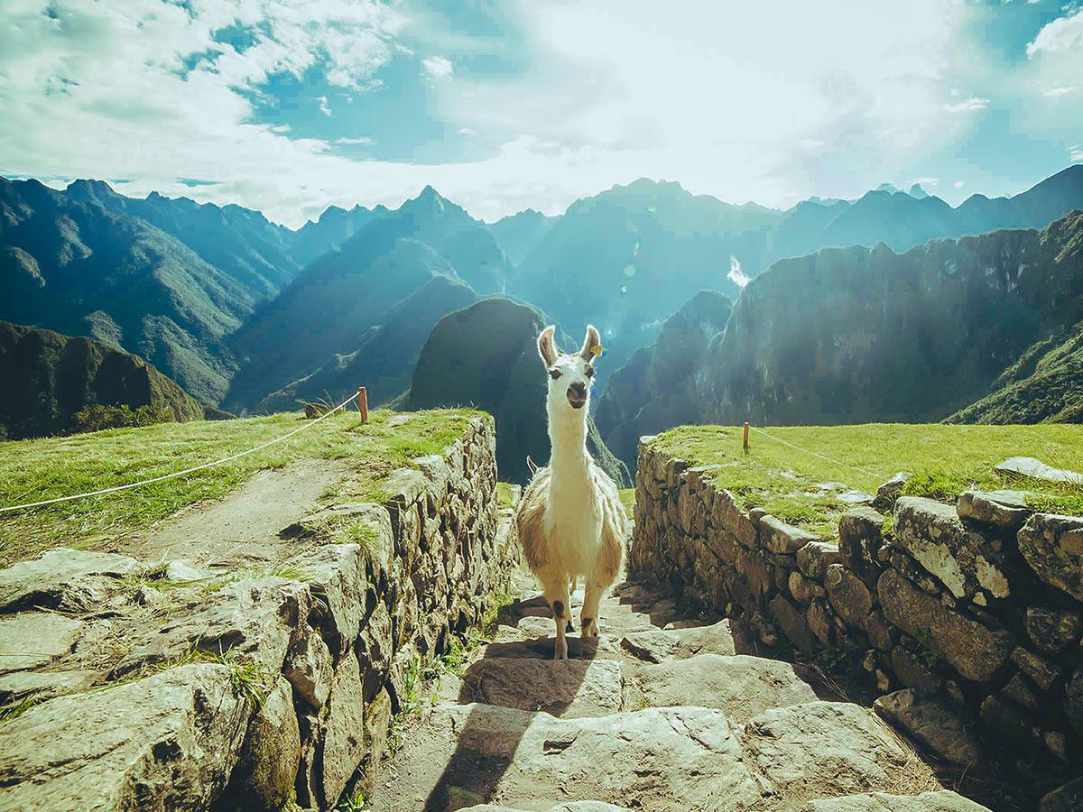 Curious llama on Inca Trail to Machu Picchu near Cusco Peru