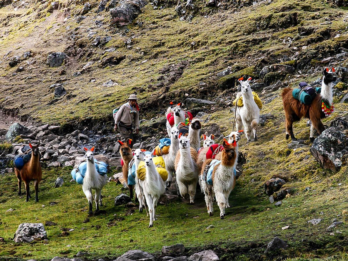 Herd of llamas on Lares Trek to Machu Picchu near Cusco Peru