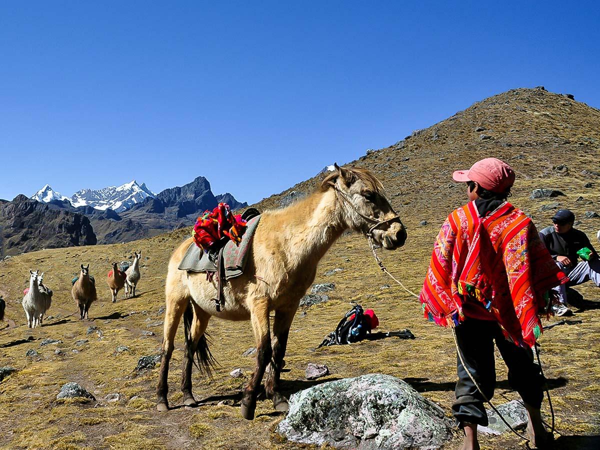 Herd of llamas in Andean Mountains on Lares Trek to Machu Picchu near Cusco Peru
