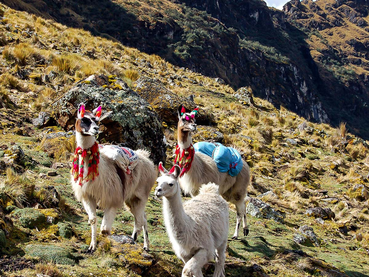 Friendly llamas in Andean Mountains on Lares Trek to Machu Picchu near Cusco Peru