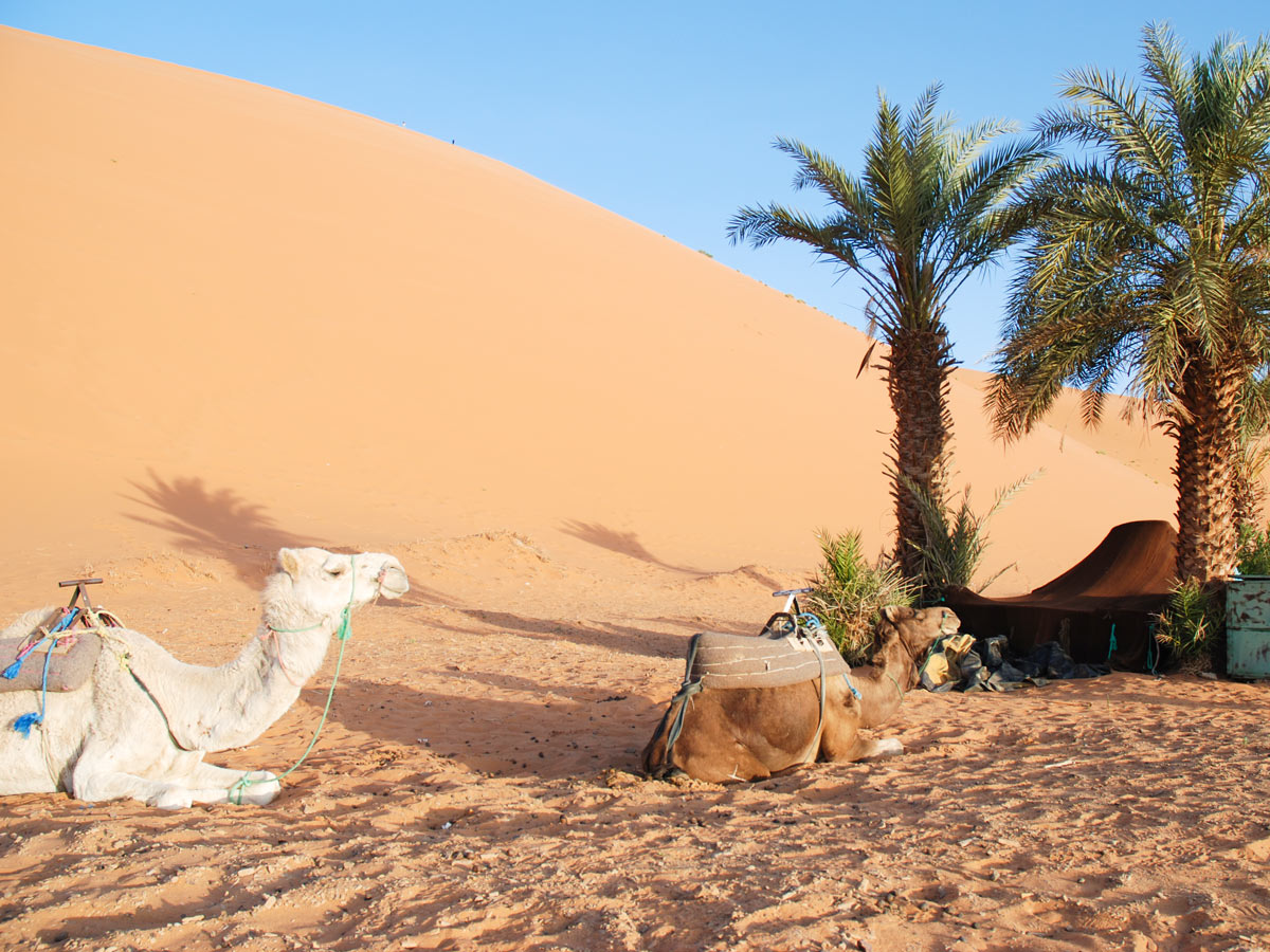 Camels resting under the palm tree on Erg Chigaga Tour in Morocco