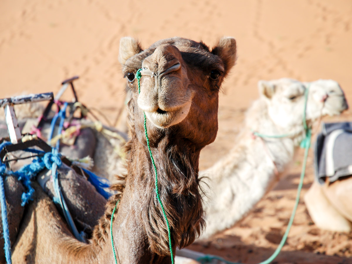 Friendly camel met on Mt Toubkal and Desert tour in Morocco