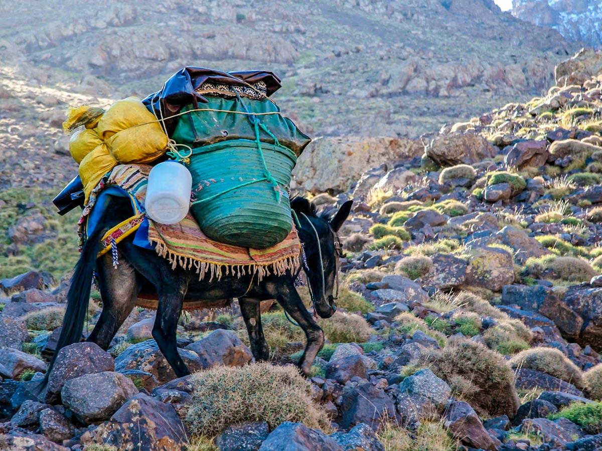 Donkey carrying heavy load on Mt Toubkal Trek in Atlas Mountains Morocco