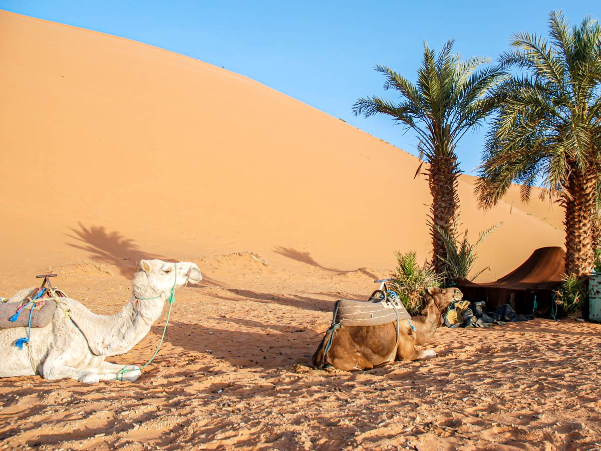 Camels resting under the palm trees on Merzouga Overland Tour