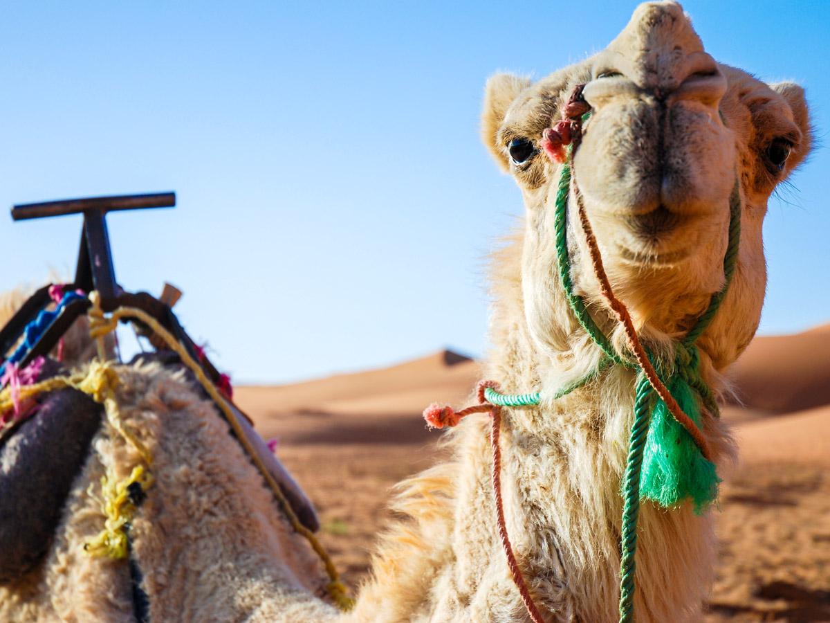 Riding camel is a wonderful adventure in Sahara Desert