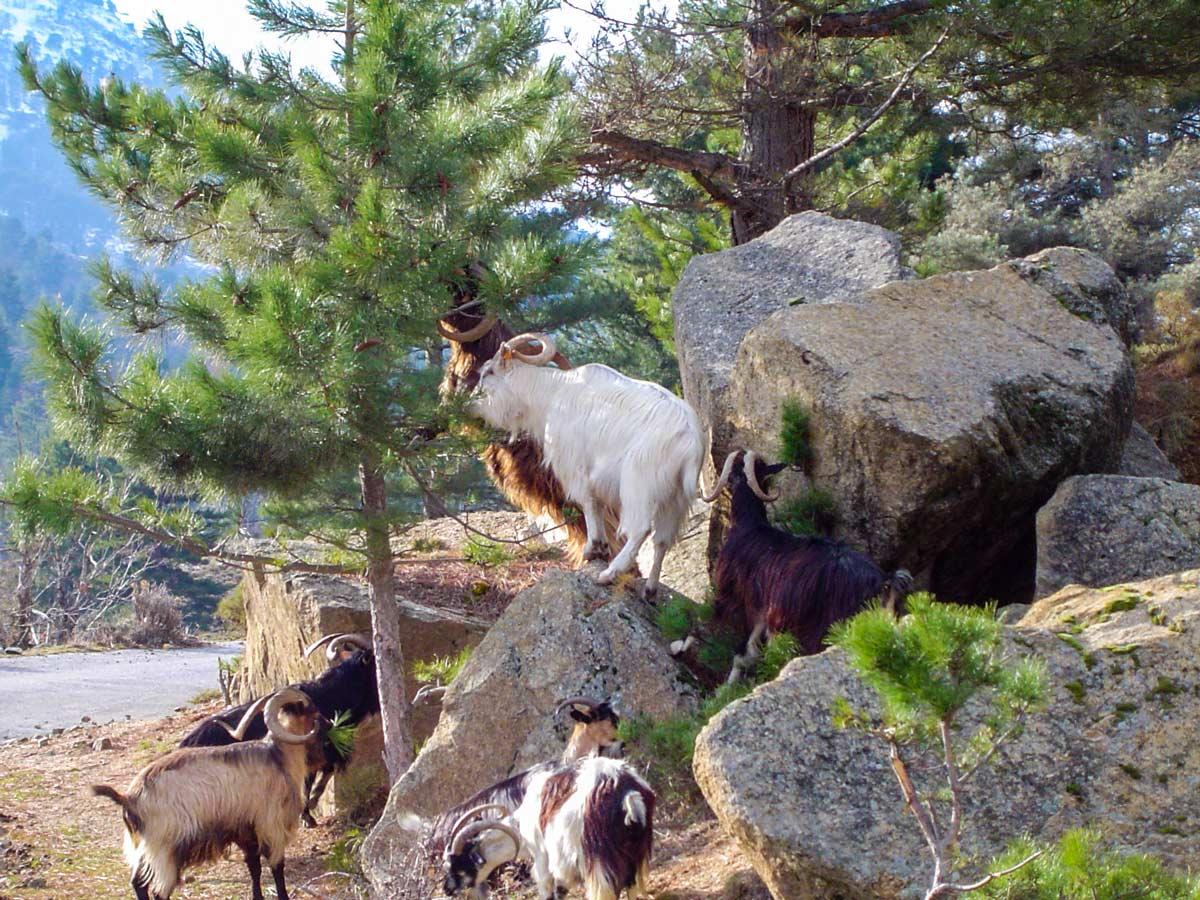 Herd of goats met in Scala on Scala to Piana trek in Corsica