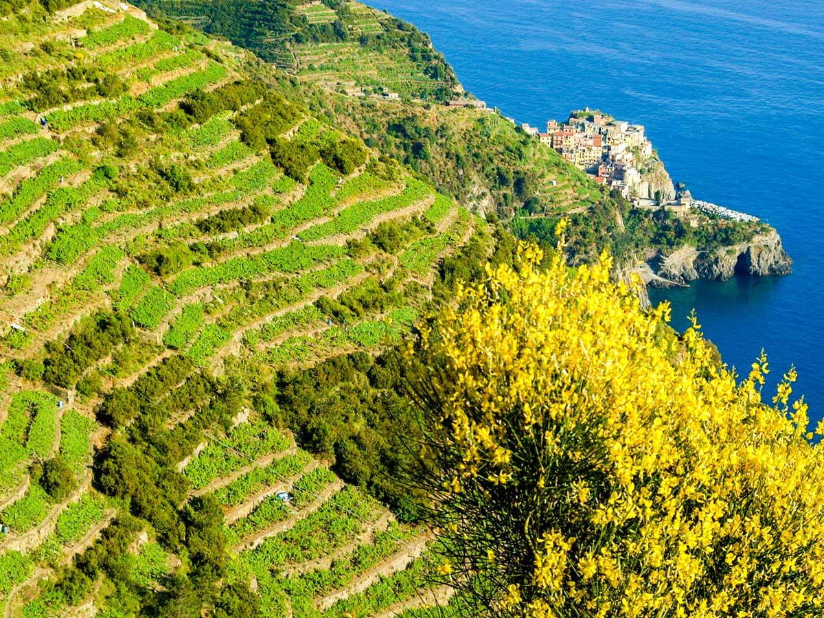 Grape fields along the coast on Sestri Levante to Porto Venere trek in Cinque Terre Italy