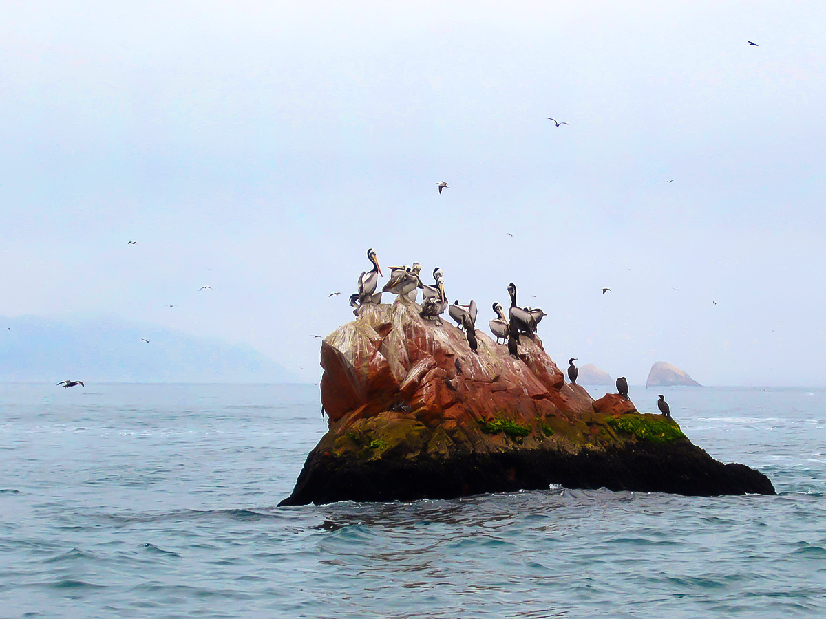 Group of pelicans met on Peru Active Tour