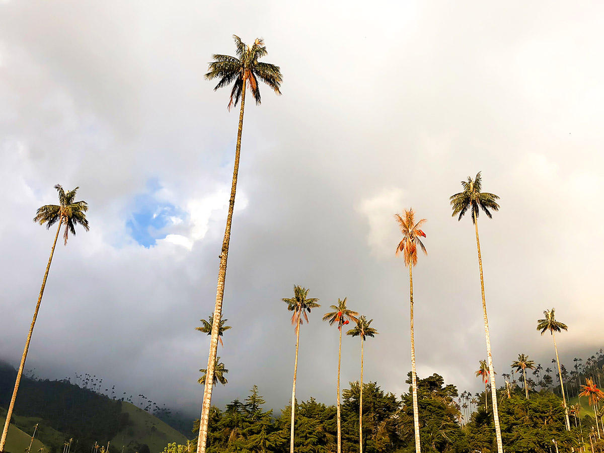 Wax palms in Cocora valley seen on Walking in Colombia Tour