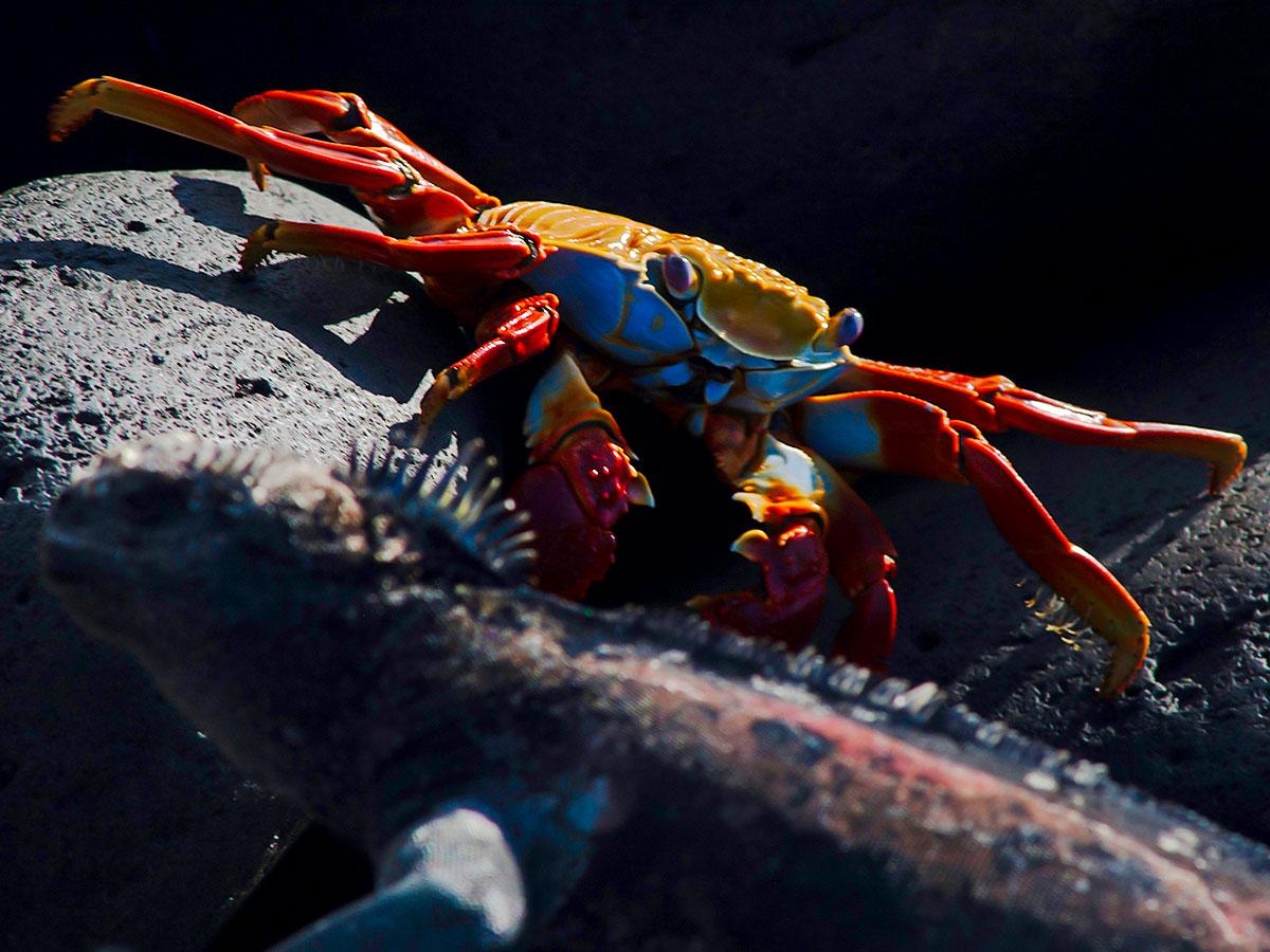 Curious crab met on Peru Ecuador Galapagos Tour