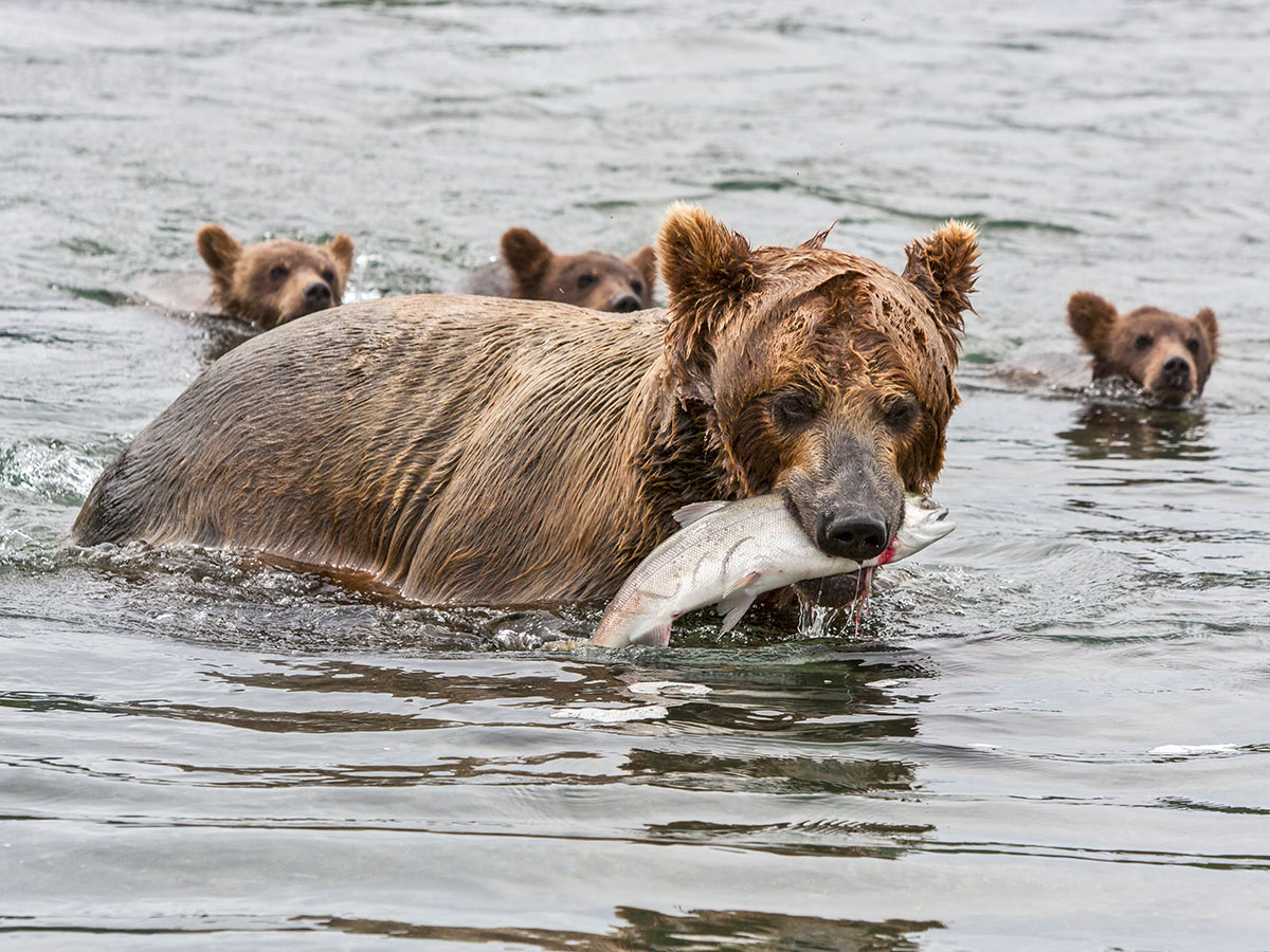 Brown bear with 3 cubs and a salmon seen in Kamchatka Peninsula on Classic Kamchatka Tour