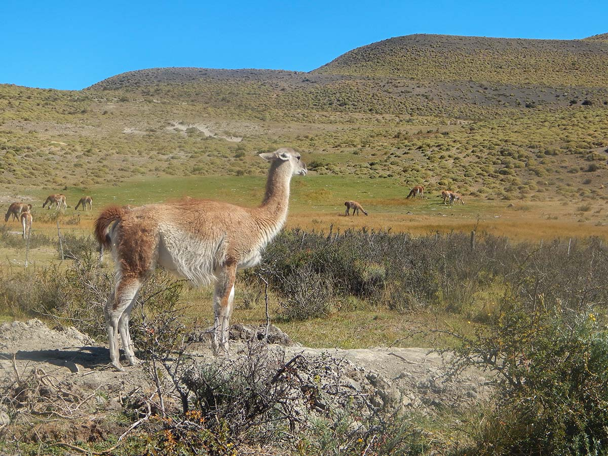 Guanaco day 8 of Los Glaciares and Paine Adventure Argentinean Patagonia