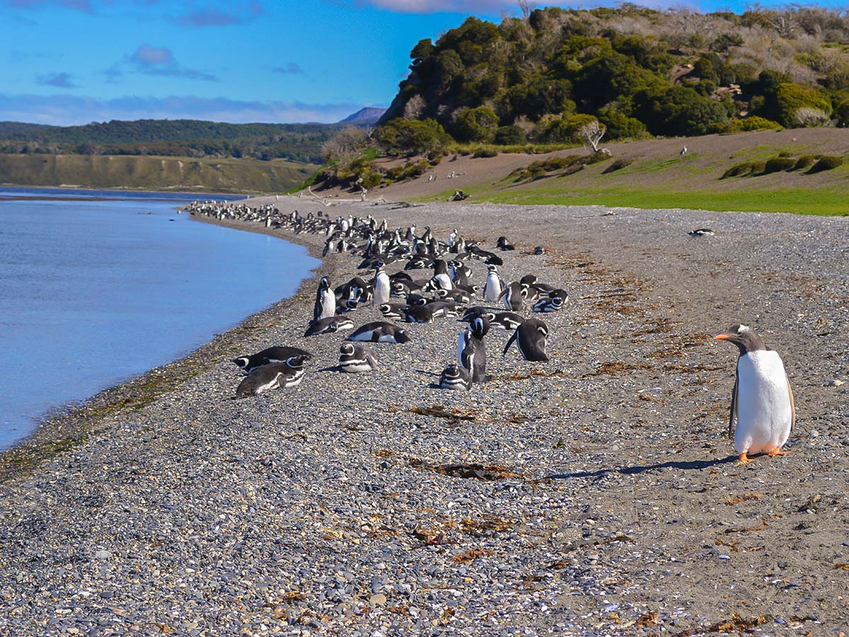 Meet the penguins on optional Tour to Harberton during Torres del Paine Ushuaia Adventure Tour in Chile and Argentina