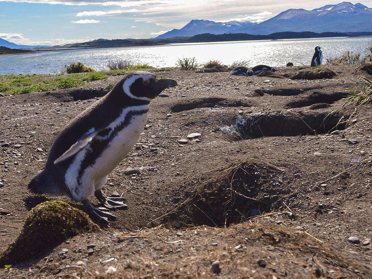 Cute penguin met on optional tour to Harberton while on Torres del Paine Ushuaia Adventure Trek from Argentina
