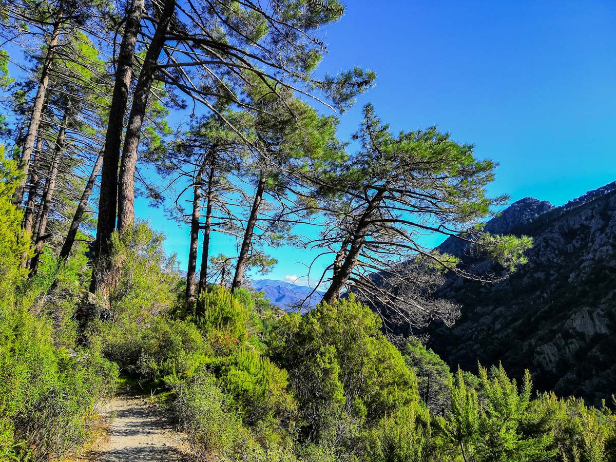 Beautiful pines along the trail of Secret Corsica Donkey Trekking and Family Adventure