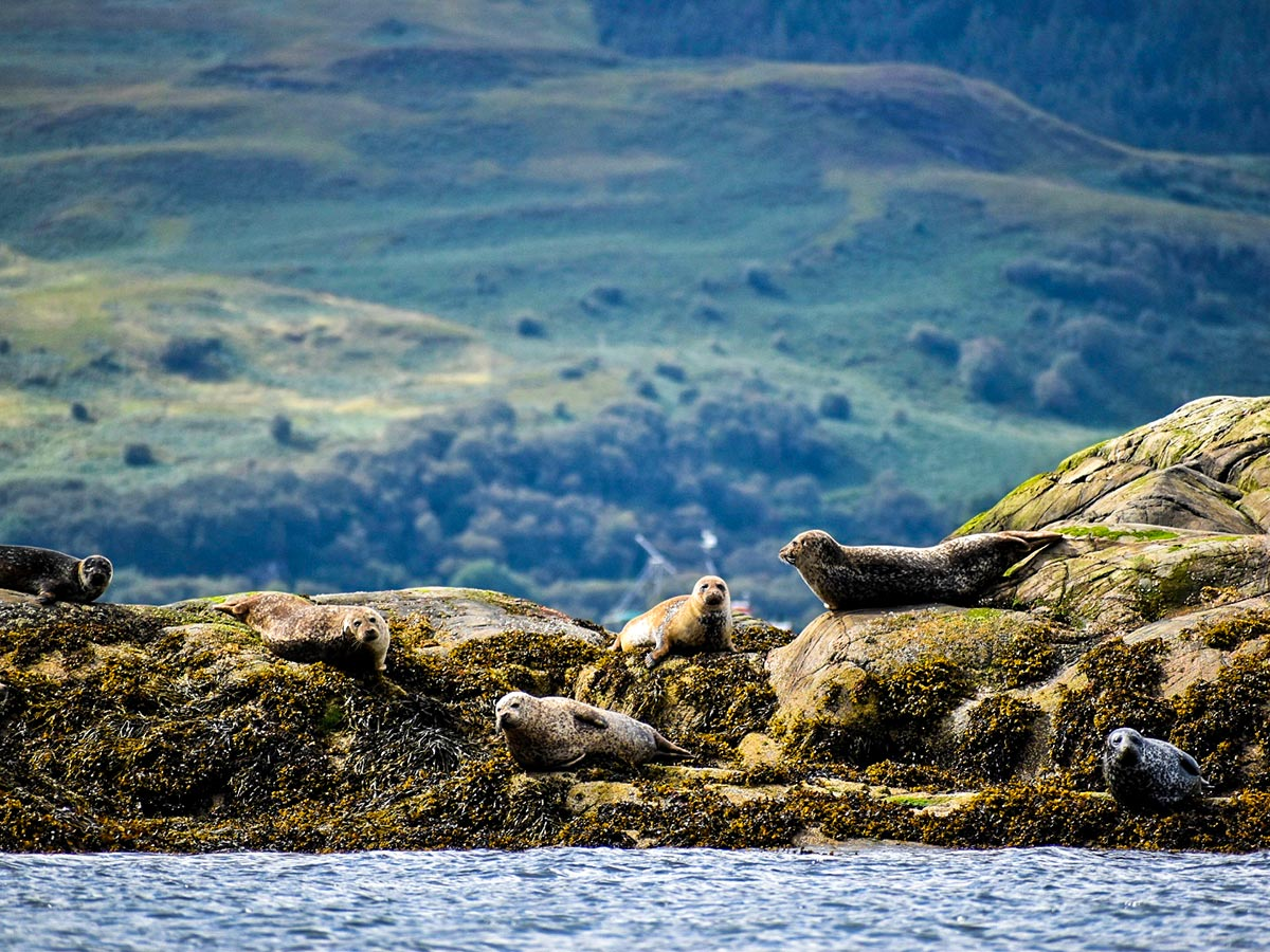 Group of seals resting on Glencoe and the Highlands walking tour