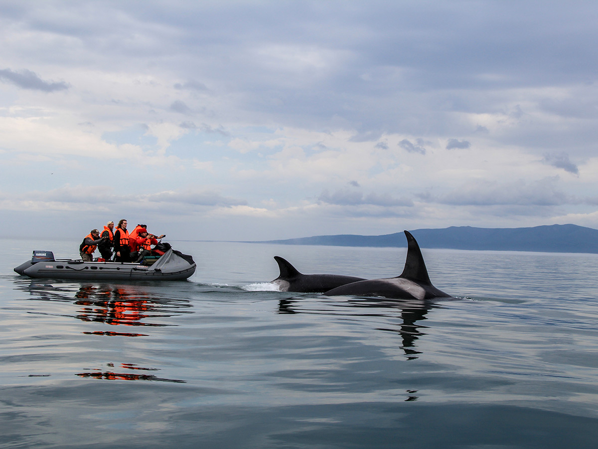 Following killer whales on Expedition to Shantar Islands Tour in Russia
