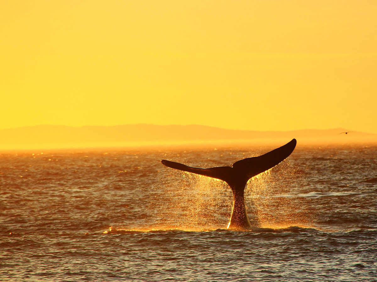 Tail of a whale seen near Shantar Islands